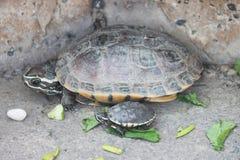 Mutterschildkröte mit es ist Baby Stockfotografie