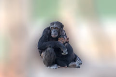 Mutterschimpanse, der ihr Baby umarmt Ein liebevoller Moment zwischen Tieren auf einem abstrakten und bunten Hintergrund Stockbild
