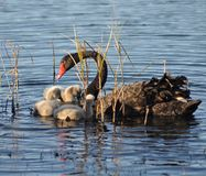 Mutterschwan und cybnets Stockfotos