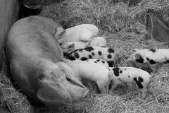Mutterschwein und -schätzchen im Heu Lizenzfreies Stockfoto