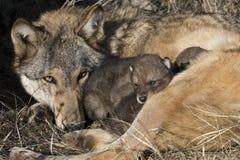 Muttertimberwolf, der über Welpen aufpasst Lizenzfreie Stockfotografie