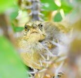 Muttervogel passt den Fotografen auf Lizenzfreie Stockfotos