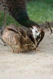 Muttervogelpfau speist ihre Nestlings Lizenzfreies Stockfoto