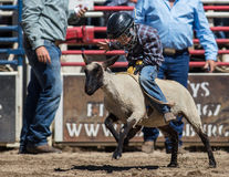 Mutton Busting Champ. Mutton busting event at the Scott Valley Pleasure Park Rodeo in Etna, California royalty free stock photo