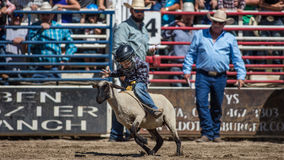 Mutton Busting Champ. Mutton busting event at the Scott Valley Pleasure Park Rodeo in Etna, California royalty free stock photos