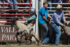 Mutton Busting. Event at the Scott Valley Pleasure Park Rodeo in Etna, California stock images