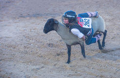 Mutton Busting Royalty Free Stock Photos