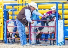 Mutton Busting. LAS VEGAS - MAY 16 : Children Participating in a Mutton Busting contest at the Helldorado days Rodeo , A Professional Rodeo held in Las Vegas royalty free stock photos