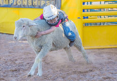 Mutton Busting Stock Photos