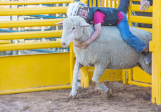 Mutton Busting royalty free stock photography
