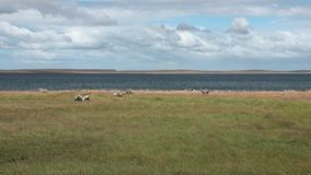 Mutton sheep jumbuck mammal animal on ocean coast of Patagonia. stock footage