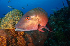 Mutton Snapper. Hungry Mutton Snapper swimming around coral Stock Images