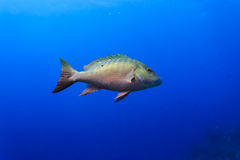 Mutton snapper fish lutjanus analis swimming in blue water Royalty Free Stock Photo
