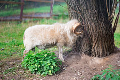 Mutton standing near tree. White mutton with antlers standing near tree trunk in summer Royalty Free Stock Image