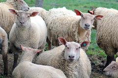 Muttons. And lambs Royalty Free Stock Photo