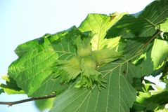 Muttrar av växa för filbertsnöt Hasselnötträd, hasselnötter som är klara att välja Grön hasselnöt på trädet Custer av huzelnuts p arkivfoton