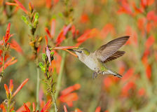 A Mutual Feeling. A pretty shot of a hummingbird and a field of orange flowers Stock Images