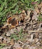 Muur Bruine Vlinder (Lasiommata-maera) Royalty-vrije Stock Afbeeldingen