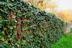 Muur die met klimop wordt behandeld De klimop beschermt muur Royalty-vrije Stock Afbeelding