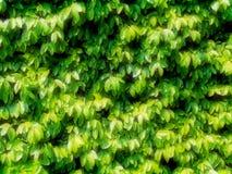 Muur die met klimplant wordt overwoekerd Stock Afbeeldingen