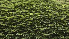 Muur door groene klimopbladeren dat totaal wordt behandeld Stock Foto