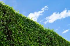 Muur groene bladeren en hemel met ruimte voor tekst Stock Afbeeldingen