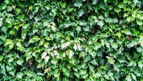muur met bladeren wordt behandeld dat royalty-vrije stock afbeeldingen