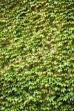 Muur met groene klimopbladeren royalty-vrije stock afbeeldingen