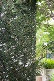 Muur met groene natuurlijke klimop, ontwerp wordt behandeld van huis dat Stock Foto's