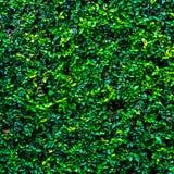 Muur van aard de groene bladeren Royalty-vrije Stock Afbeelding