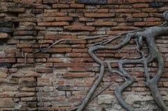 Muur van baksteen met boomwortel Stock Afbeeldingen