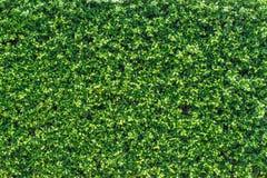 Muur van het Banyan de groene verlof Royalty-vrije Stock Afbeelding