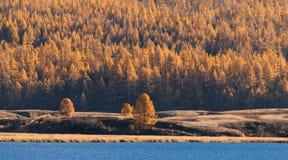 Muur van het Koude die Water van Forest Mountain Lake With Blue, door Gele Lariks wordt omringd Royalty-vrije Stock Afbeelding