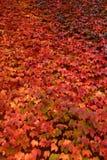 Muur van rode klimop in de herfst Stock Afbeeldingen
