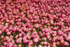 Muur van tulpen Royalty-vrije Stock Foto's