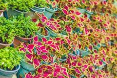 Muur van violette bloemen in potten Tuinconcept Stock Afbeeldingen