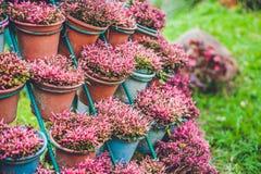 Muur van violette bloemen in potten Tuinconcept Royalty-vrije Stock Foto