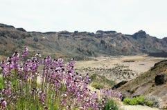 Muurbloem het groeien bij del Teide National Park Stock Fotografie