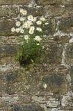 Muurbloemen? (Leucanthemum vulgare) Stock Afbeelding