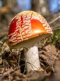 Muushroom пластинчатого гриба мухы Стоковые Фото