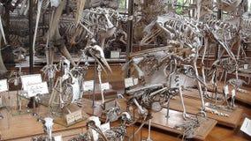 Muzealny skamieniały kościec obrazy stock