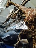 Muzeum historii naturalnych zwierzęta Obraz Royalty Free