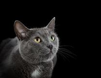 Muzzle кот Стоковое Фото
