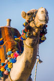 The muzzle of the African camel Royalty Free Stock Photo
