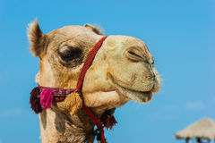 The muzzle of the African camel Royalty Free Stock Photos