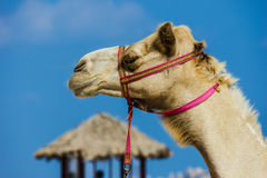 The muzzle of the African camel Stock Images