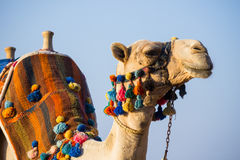 The muzzle of the African camel Stock Photo