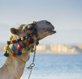 The muzzle of the African camel Royalty Free Stock Image