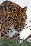 Muzzle of Amur leopard close-up with branches on a white snowy background, Brutal muzzle of a big cat royalty free stock photography