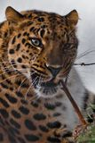 Muzzle of Amur leopard close-up with branches on a white snowy background, Brutal muzzle of a big cat stock photos